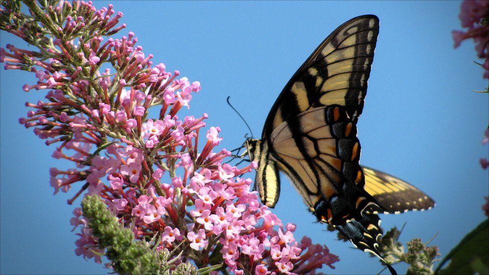 A butterfly on a buddleia