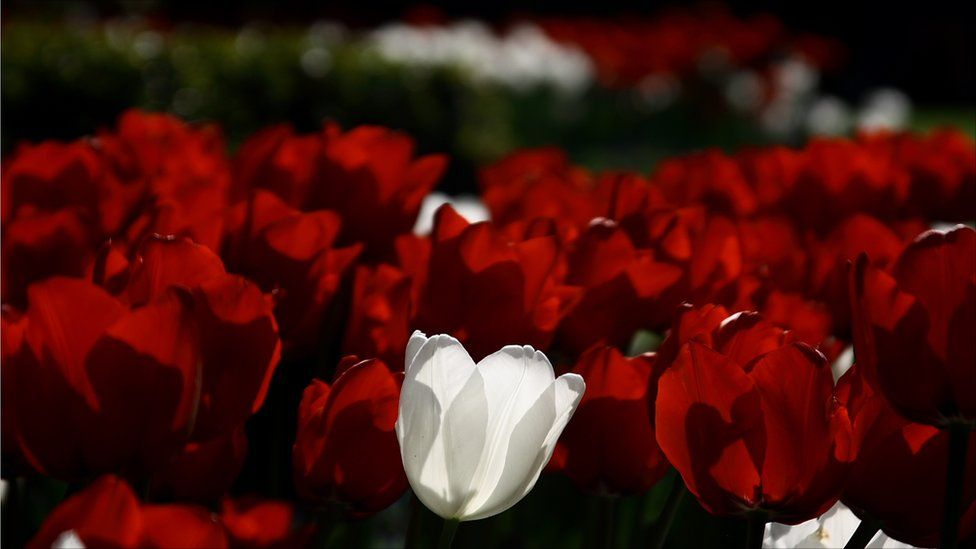 A white tulip in the middle of a patch of red tulips