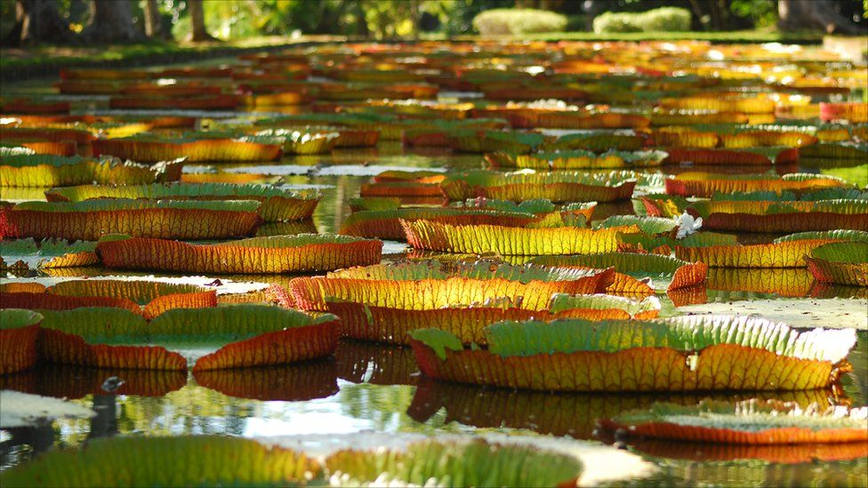 Large lily pads on a pond