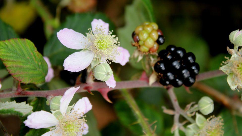 Bramble flower and fruit