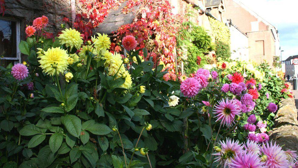 Dahlias in a garden in Errrol in Perthshire