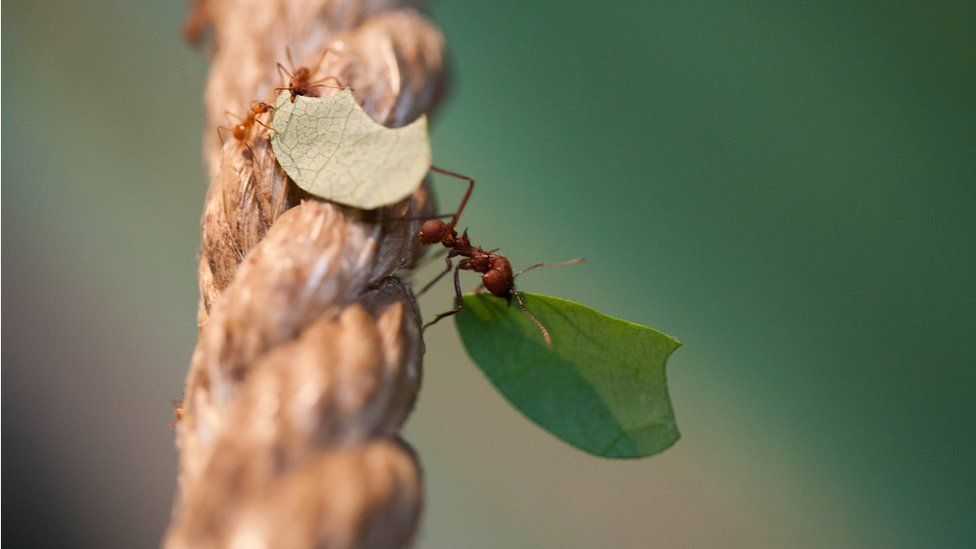 Two ants carry bits of a leaf up a rope