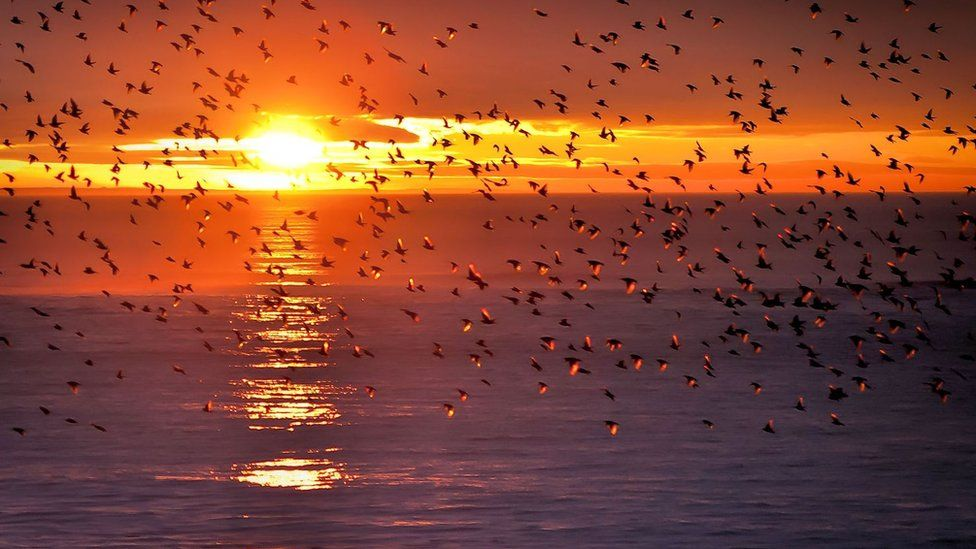 A murmuration of starlings about to settle for the night in front of a beautiful sunset at Aberystwyth.