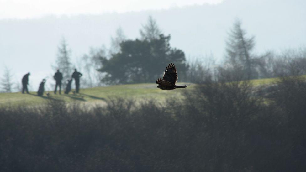 Buzzard flying past golfers