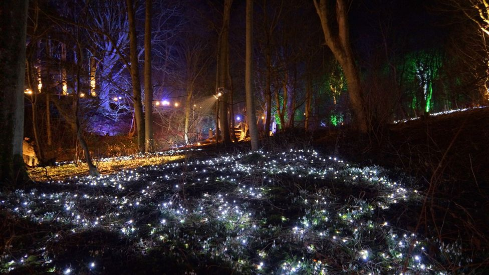 Snowdrops illuminated by a light display