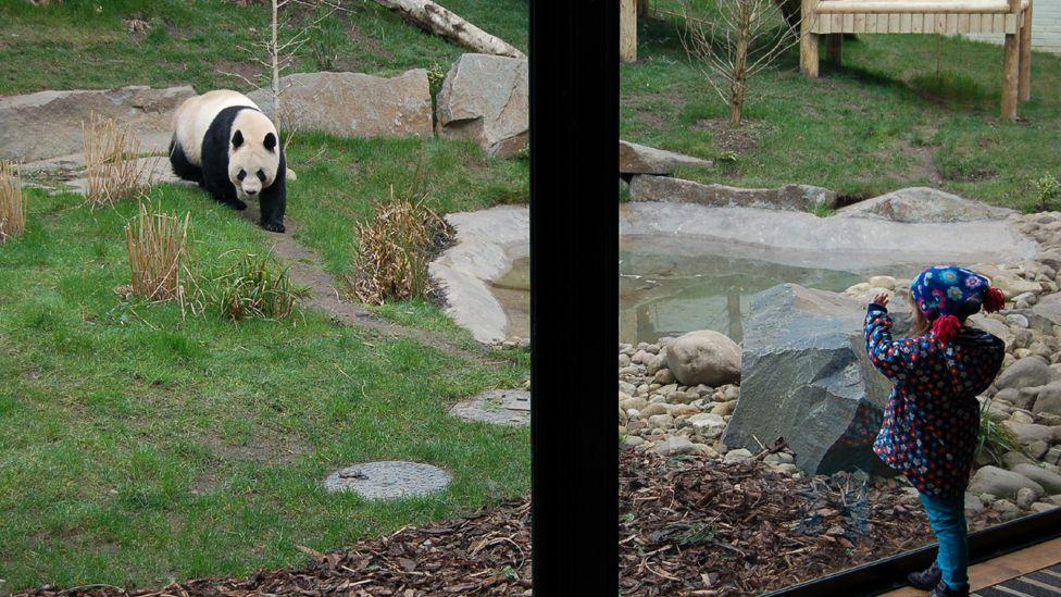 Greta waves at panda Tian Tian in Edinburgh Zoo