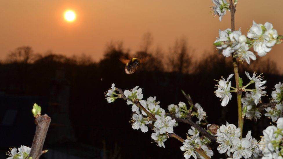 Bee and blossom on a tree at sunset