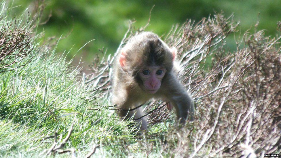Macaque Iapanach