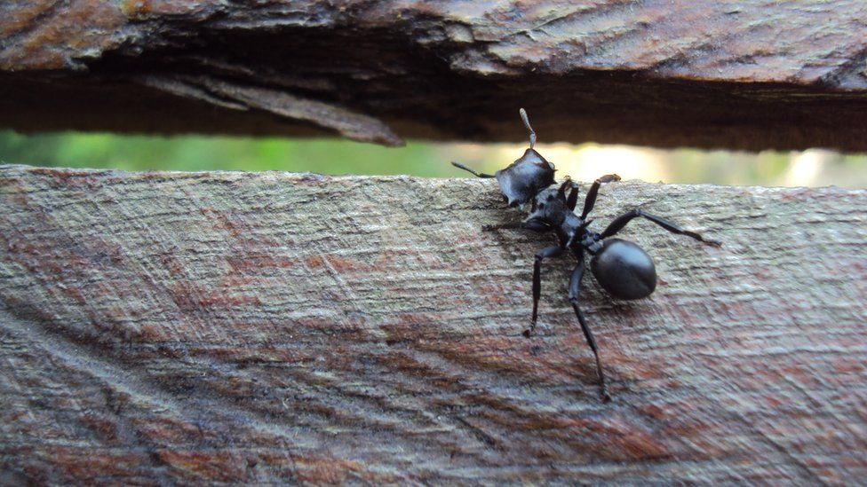 A giant ant