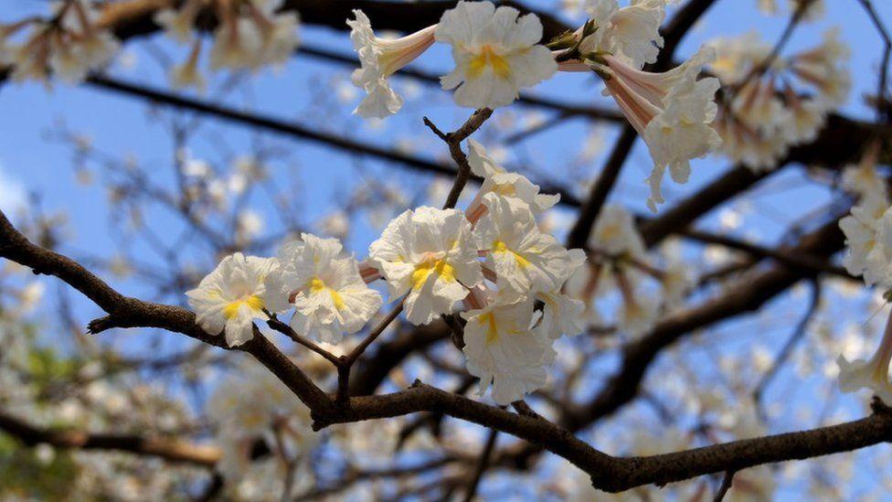 Tabebuia roseoalba blossom