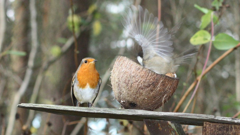 Robin and a blue tit in a garden