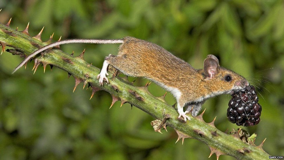 Wood mouse with blackberry