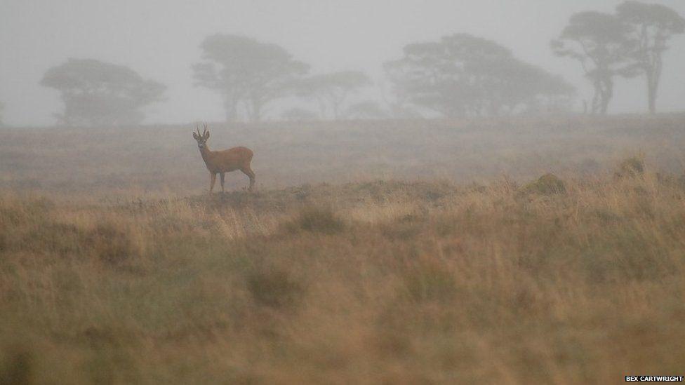 Roe buck in the fog