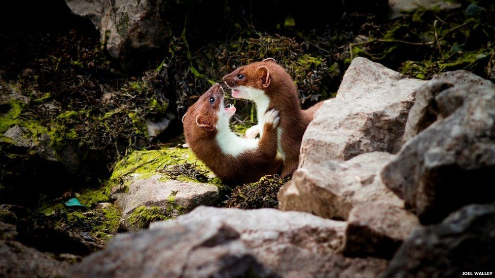 Play-fighting stoats