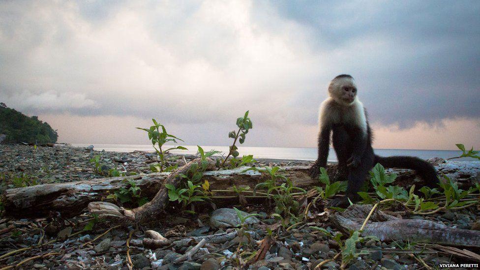 Monkey on the island of Gorgona