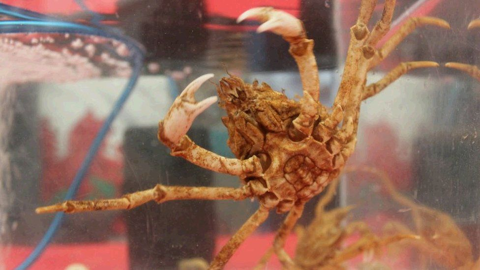 Mae 'na grancod i'w gweld yn y Babell Wyddoniaeth a Thechnoleg / There's all sorts in the Science and Technology tent - including crabs