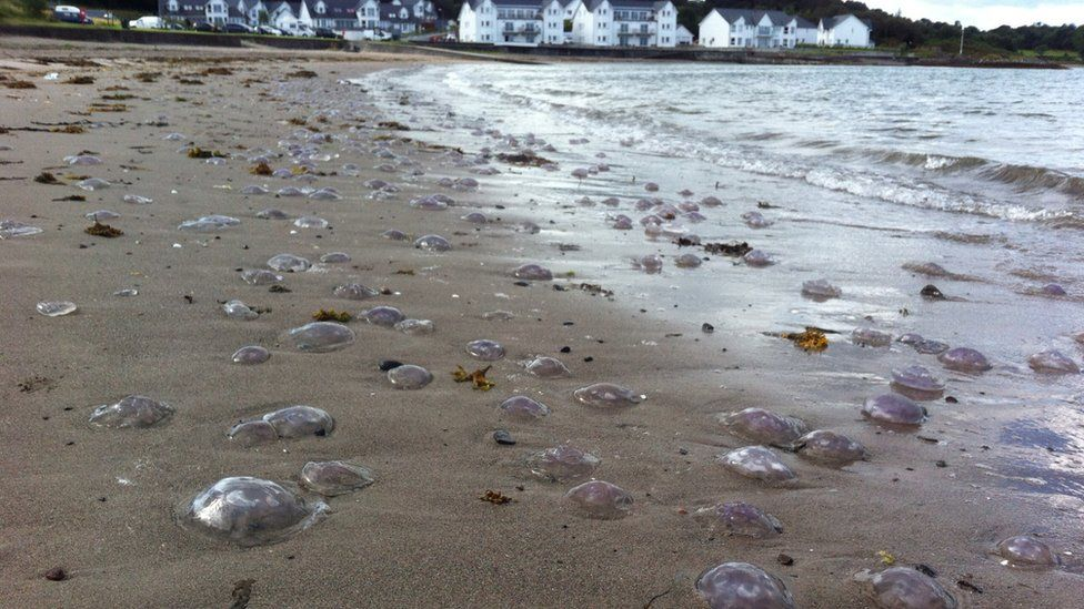 Jellyfish on a beach