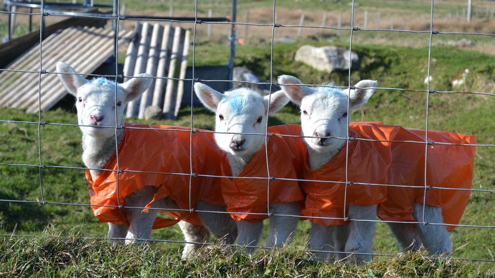 New born lambs in South Uist