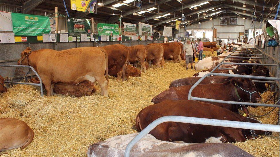 'Ystafell werdd' y gwartheg. // The cattle 'Green Room'.