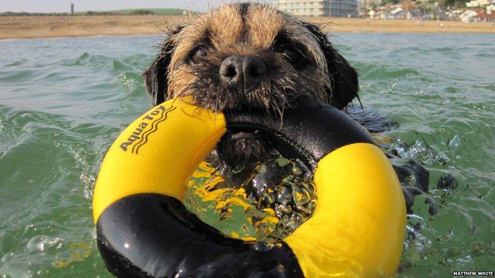 Border Terrier swimming