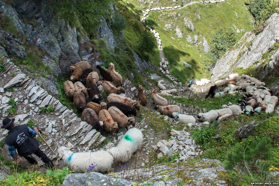 A flock of alpine sheep