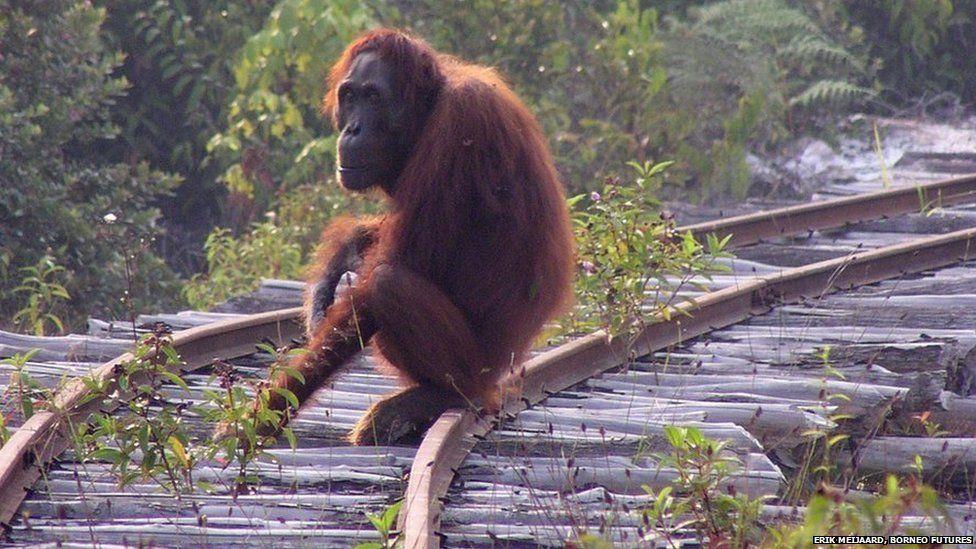 Endangered Bornean orang-utan photographed in a mining area in Kalimantan, Indonesian Borneo
