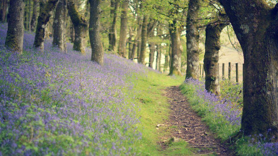 Clychau'r gog yng Ngwarchodfa Natur RSPB Dinas Gwenffrwd yn Rhandirmwyn, Powys