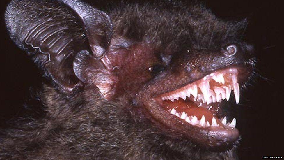 Long-tootherd pipistrelle