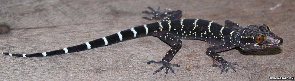 Long-toed gecko