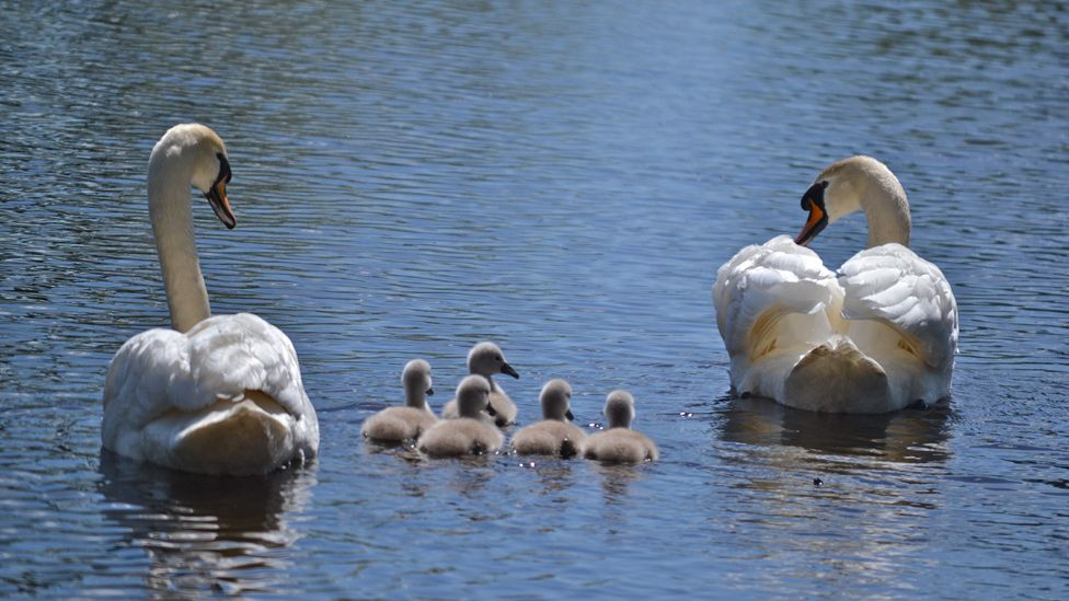 Swans and cygnets