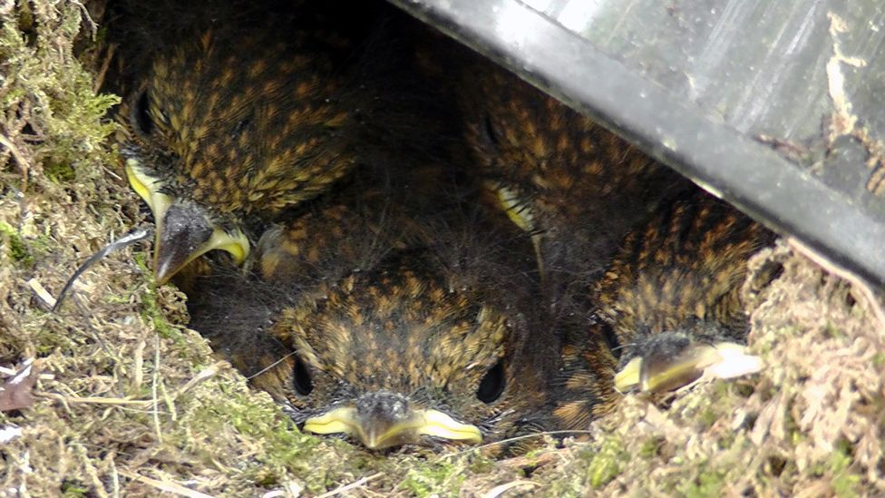 Baby robins in a nest