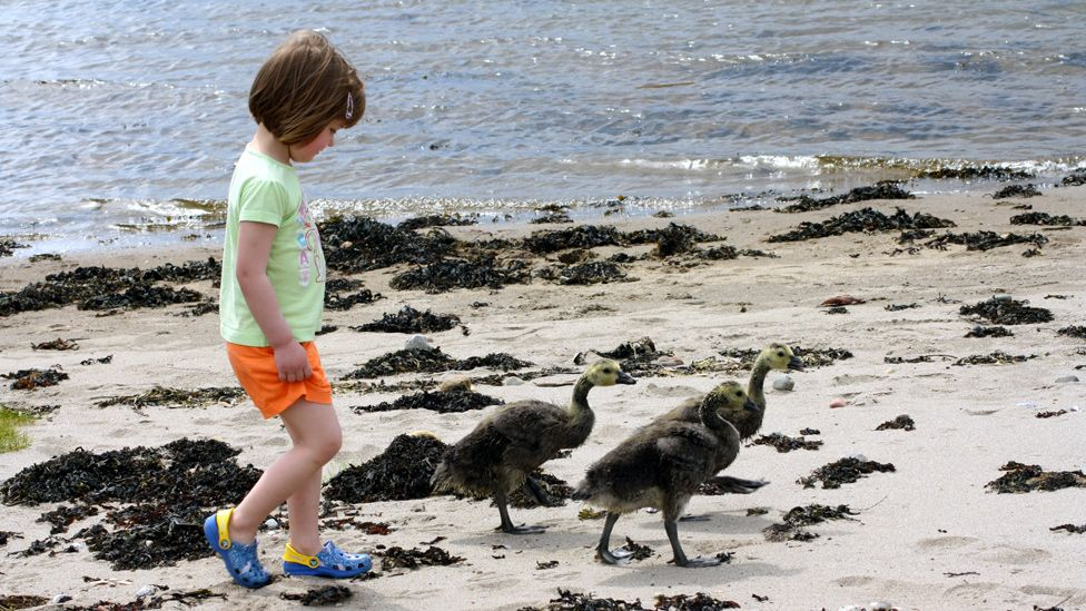 Sophie and geese walking on a beach