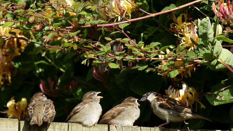 Sparrows sitting on a garden fence