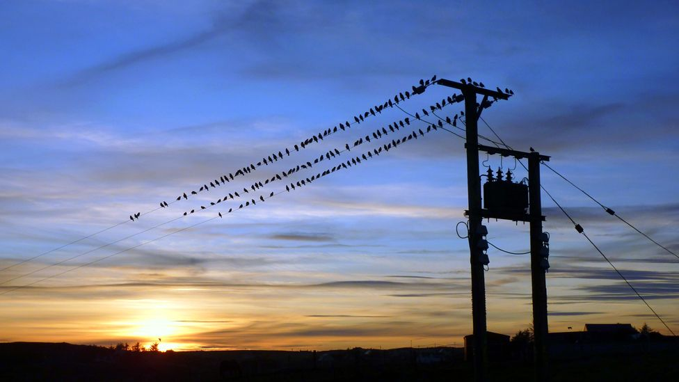 Starlings roosting on a telephone line