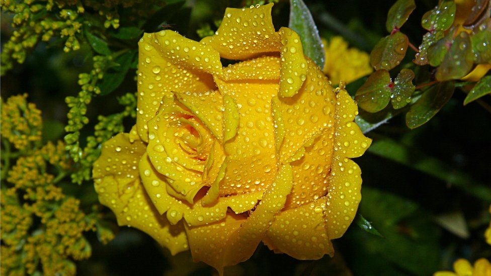Baz shot this vibrant rose at the Royal Horticultural Society of Aberdeen show in Duthie park