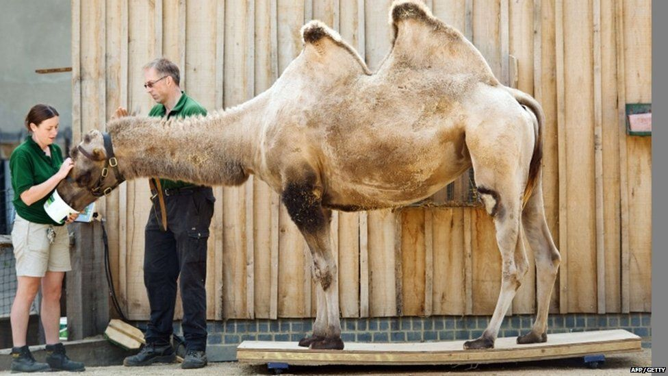 Noemie, a Bactrian camel, is weighed during the London Zoo's annual weigh-in