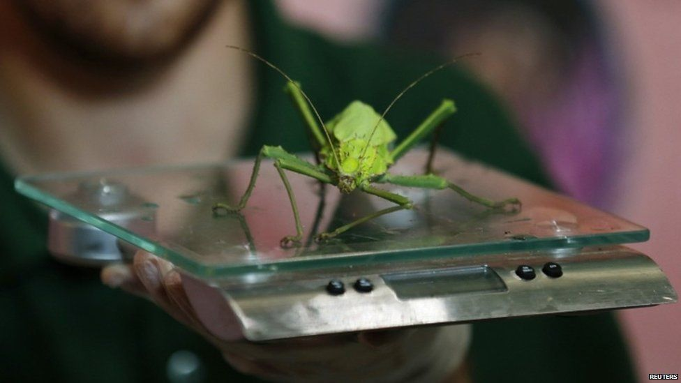 Keeper Jeff Lambert weighs a jungle nymph stick insect