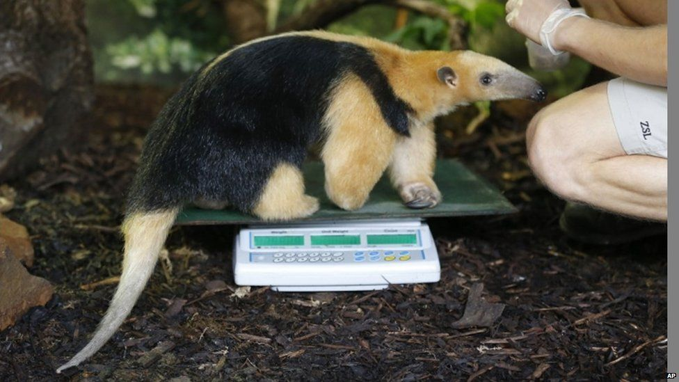 "A zoo keeper weighs tree anteater ""Tammy"" during the annual weigh-in at London Zoo"
