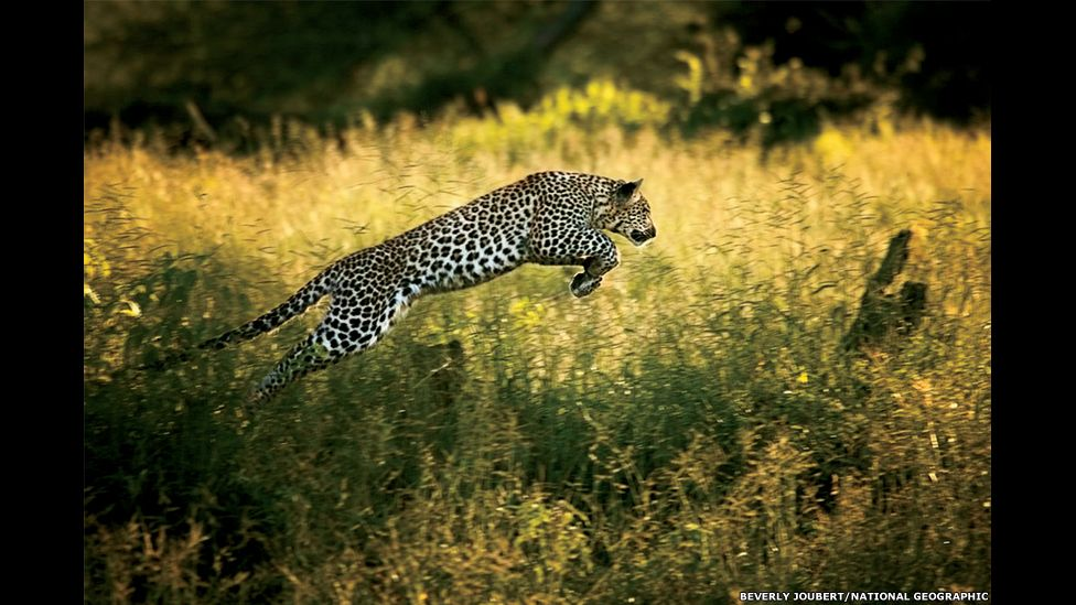 In a hunting game with her mother, a young leopard leaps through tall grass.