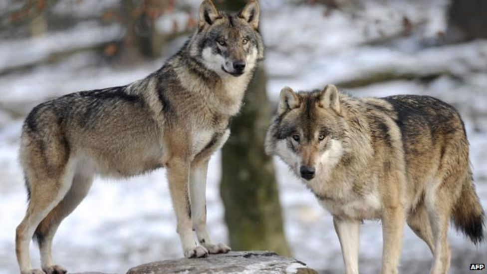 Conservation Concerns For Extinct Wolves In Scotland Bbc News