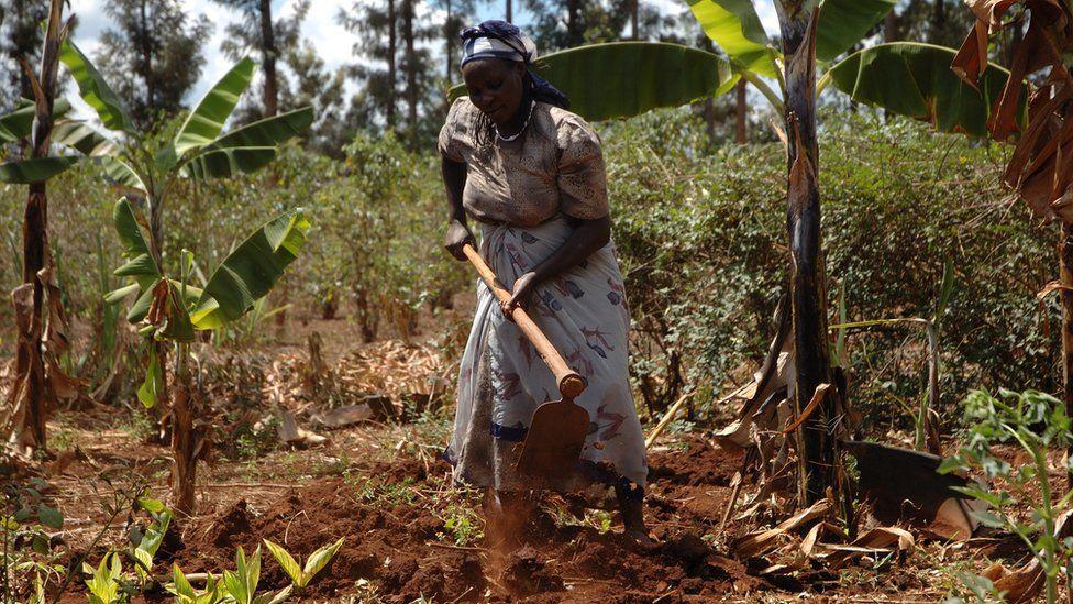 Drought tolerant maize