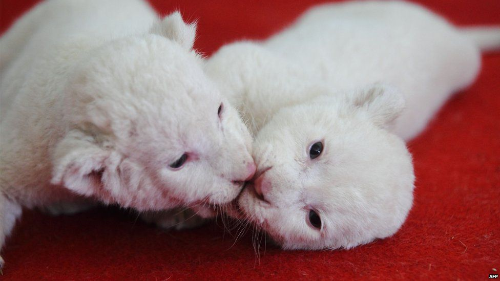 White lion cubs play with each other in their enclosure in Hangzhou zoo in China
