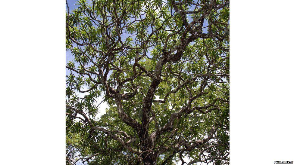 Kaweesak's dragon tree