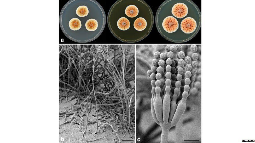 Orange penicillium