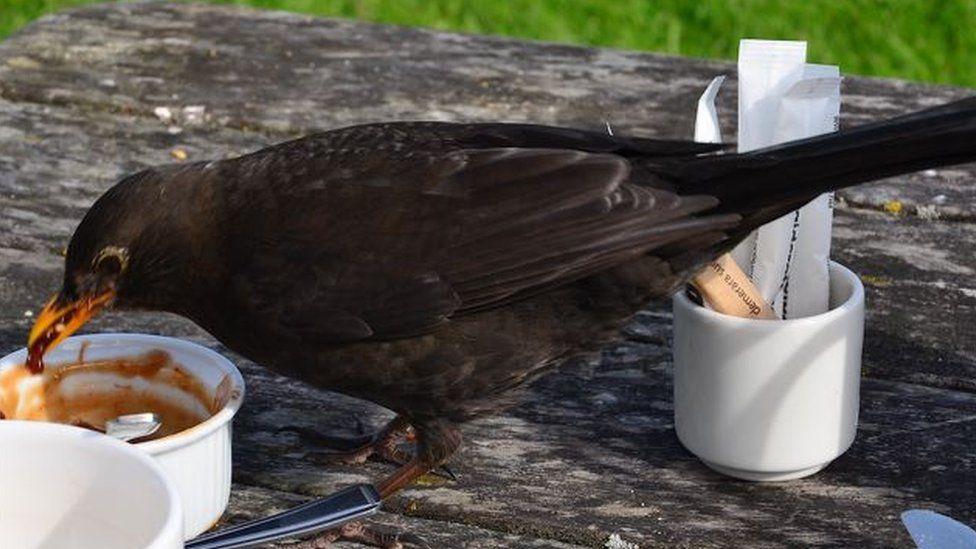 Blackbird eating jam