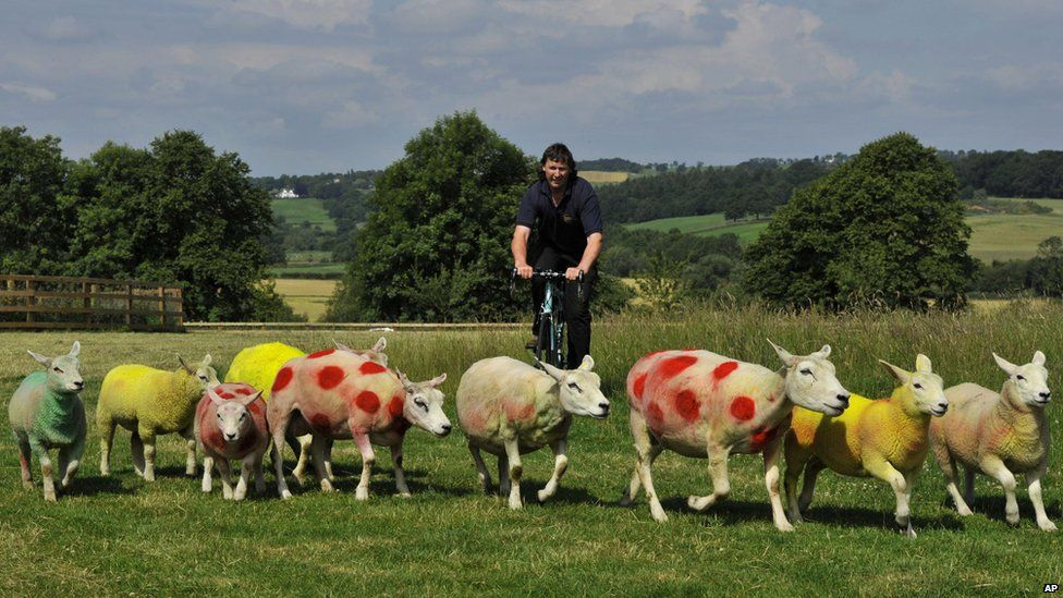 Sheep painted in the colors of the Tour de France winners jerseys, graze in fields near Harrogate, England, Tuesday, July 1, 2014, where the race will pass over the weekend. Farmer Keith Chapman a keen cycling enthusiast painted his flock in the Yellow Race leaders jersey, Polka dot of the Mountains Competition leader and Green jerseys for the Points leader to greet the riders when they race past.