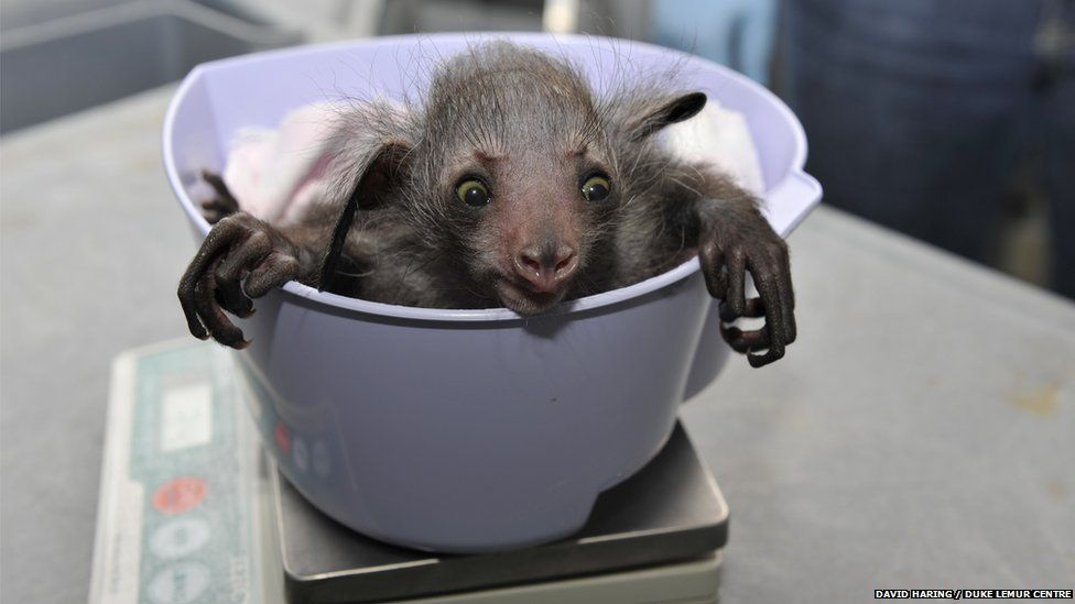 Baby lemur being weighed