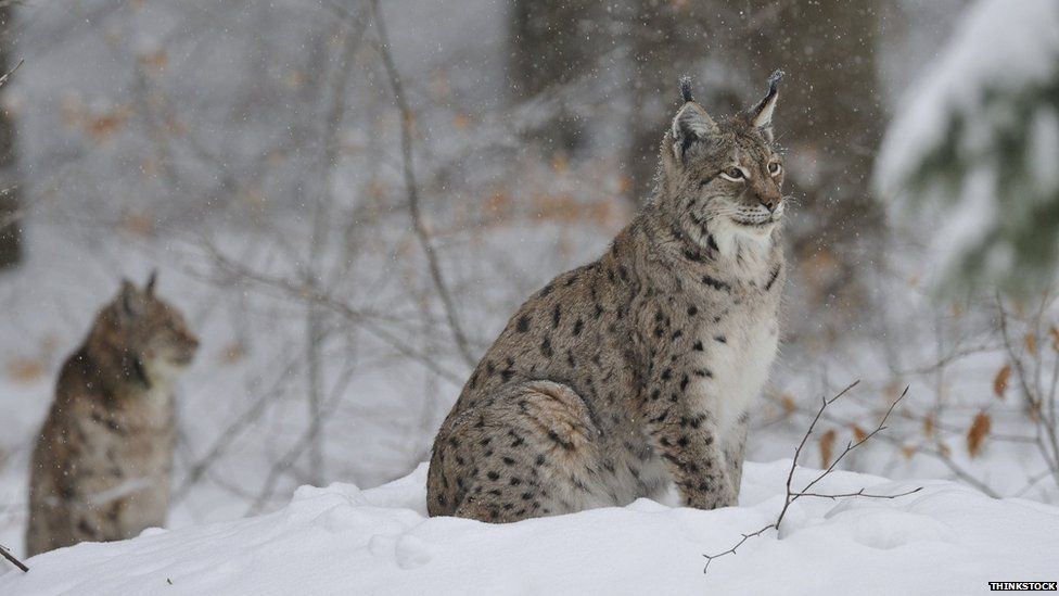 Worksheet. Lynx links Five things on blood sucking cats  BBC News