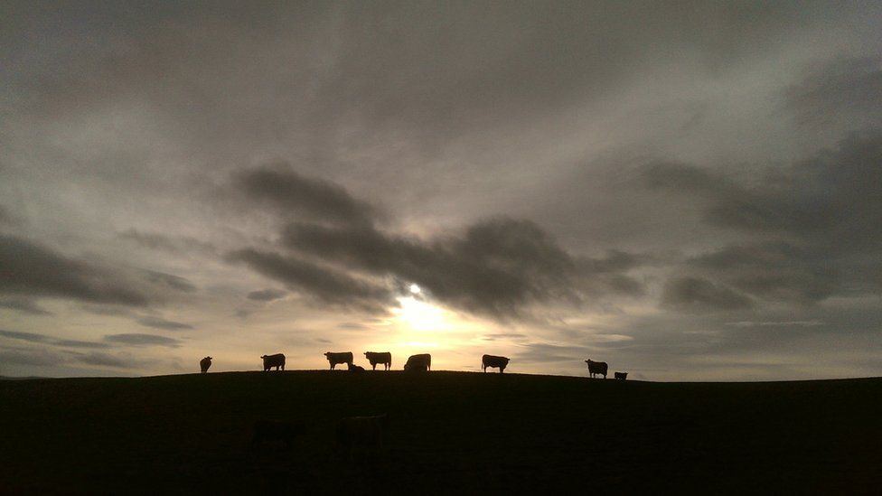 Cows on the horizon