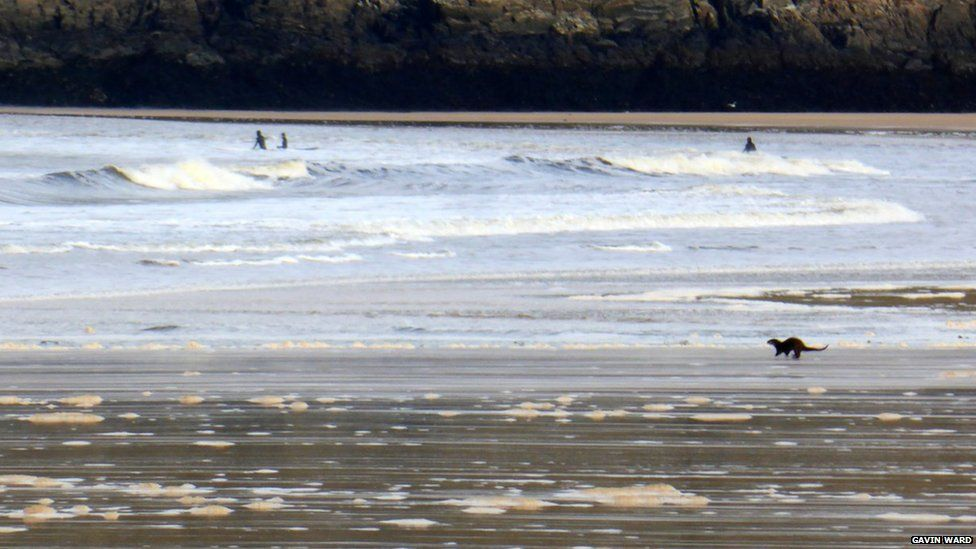 Otter on beach with surfers